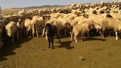 صورة منح 6100 رأس ماشية لضحايا الحرائق بتيزي وزو